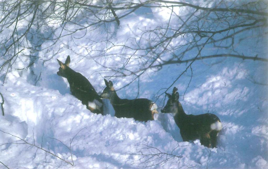 Cartolina caprioli nella neve
